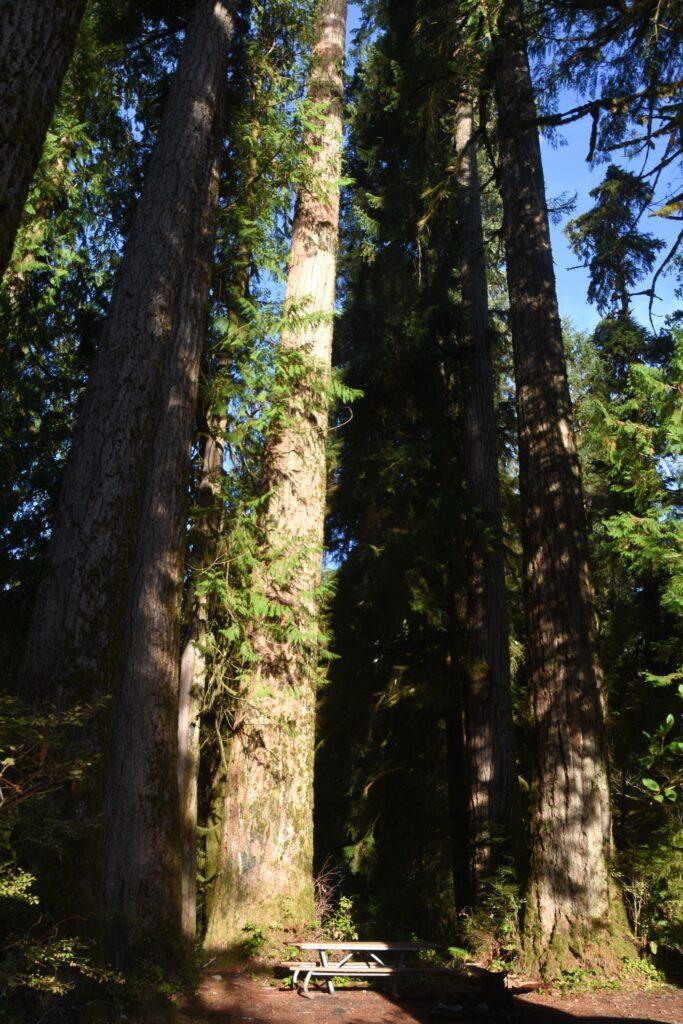 עצי ענק