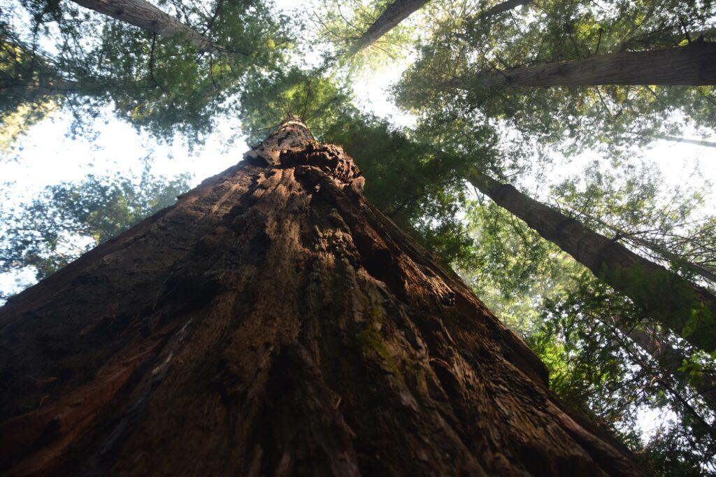 פארק רדווד עצי ענק