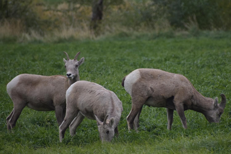 """רוד טריפ בצפון מערב ארה""""ב כבשי הרים"""