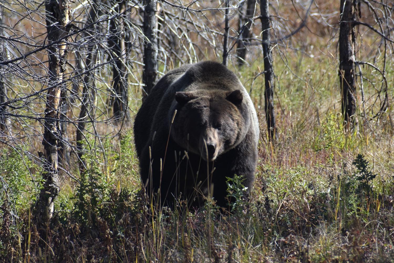 פארק ילוסטון דוב