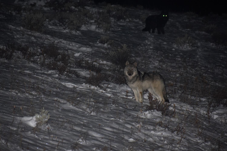 רוד טריפ בוויאומנג זאבים פארק ילוסטון