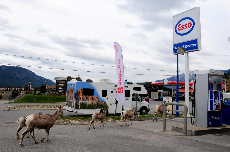 רוד טריפ בהרי הרוקי ובגליישר כבשי הרים בתחנת דלק