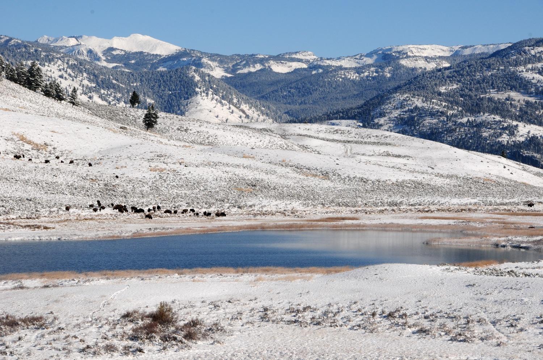 רוד טריפ בוויאומנג ביזונים בעמק למאר פארק ילוסטון